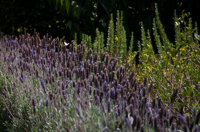 Lavender Flower Bed