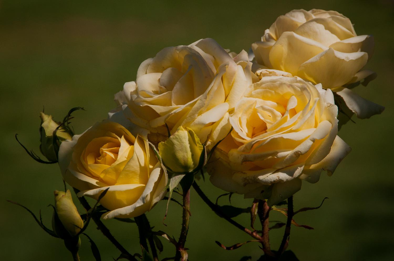 Celtic Cream Roses