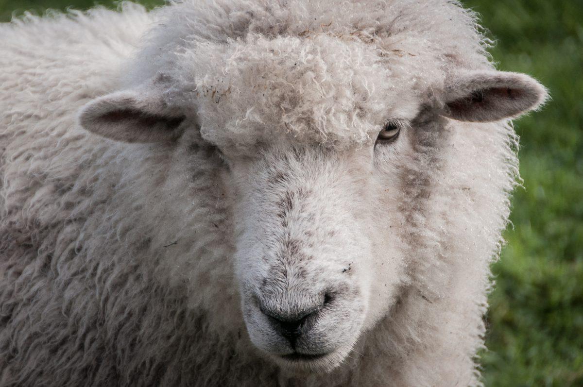 Babushka the Sheep