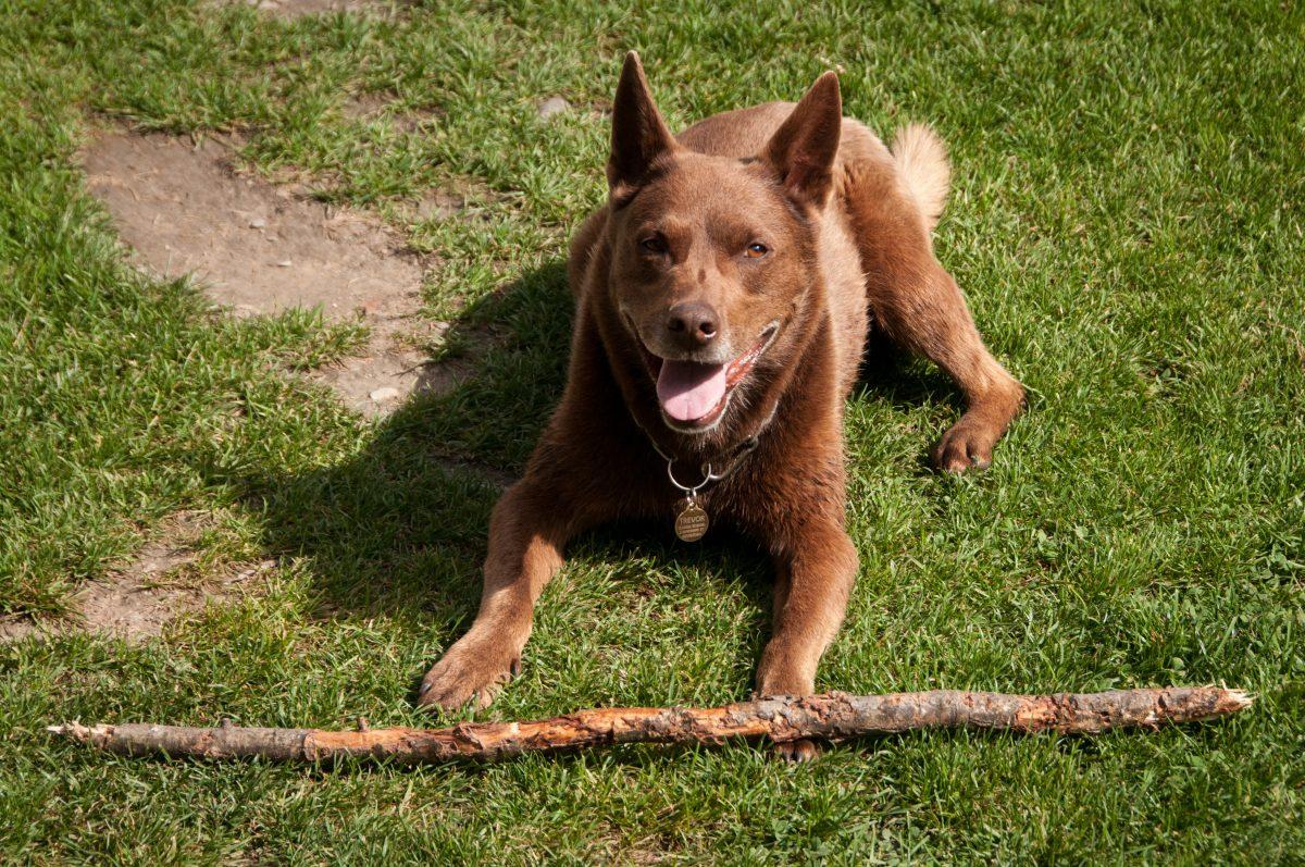 Red Heeler Dog