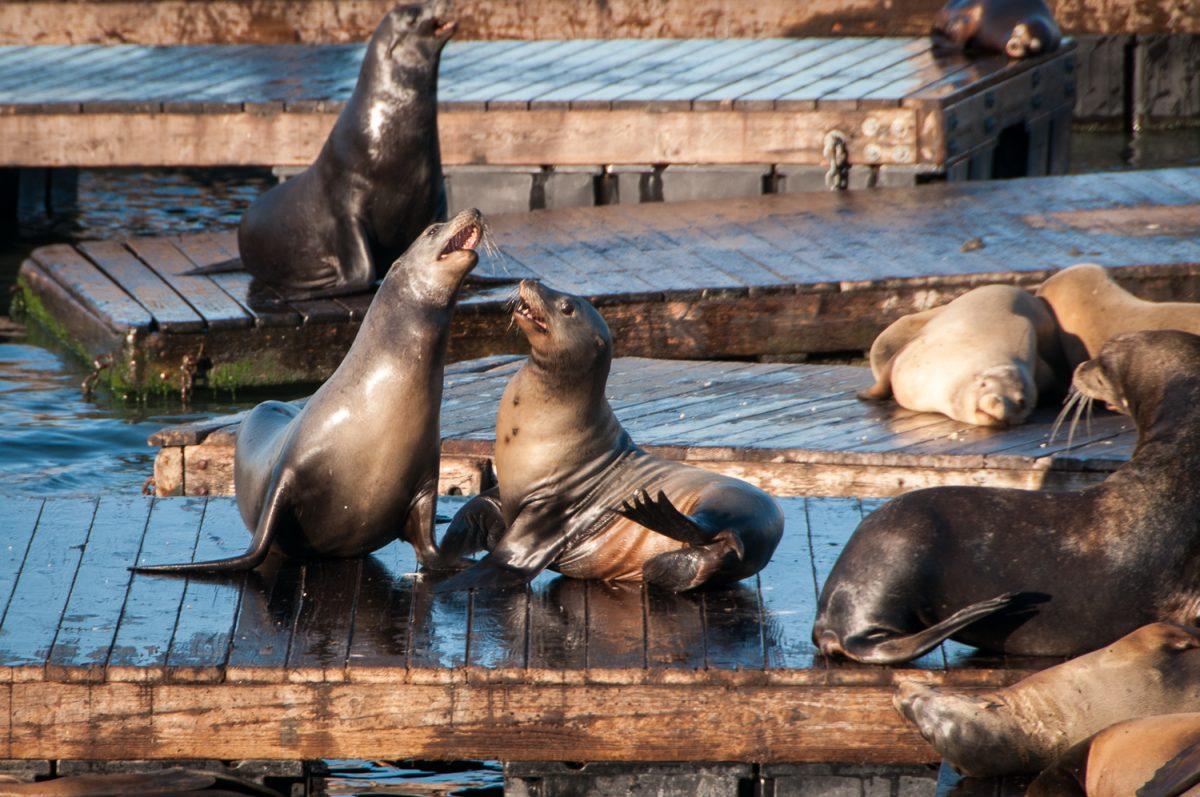 California Sea Lions, Pier 39
